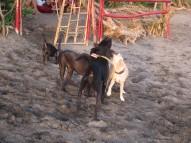 Street -more like beach- dogs / Perros callejeros -o mas bien playeros-