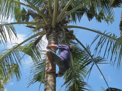 Rai taking some young coconuts down for us. These ones he normally uses for ceremonies. / Rai bajando un par de cocos jóvenes para nosotros. Normalmente estos los destina a ceremonias.