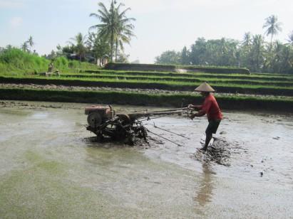 Rice farmer in action / En plena faena arrocera.