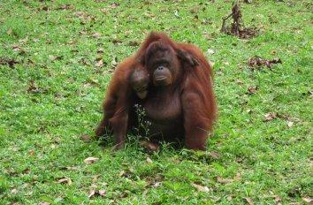 Didn't go to Sumatra to see Orang-Utans?... there's the Zoo! // No fuiste a Sumatra a ver Orangutanes?... pues para eso está el Zoo!