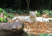 White tiger... only exist in captivity. // Tigre blanco, solo existen en cautiverio.
