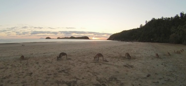 Kangaroo feeding at sunrise. // Alimentando a los Canguros a la salida del sol.