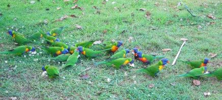 Nimbin parrots waking us up. // Loros nimbos despertándonos.