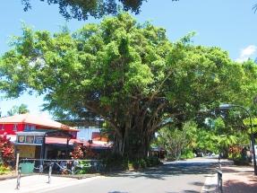 Impressive trees. // Arboles impresionantes.