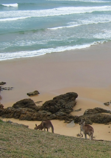 Kangaroos in the wild. // Canguros salvajes junto a la playa.
