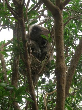 "Sandra became ""the Koala spotter"". // Sandra resultó ser experta en ubicar Koalas en los árboles."