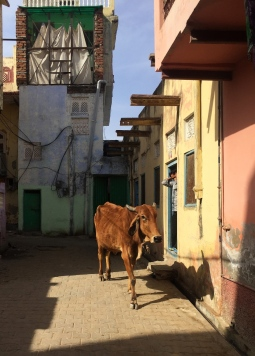 Our neighborhood cow. // La vaca de nuestro barrio.
