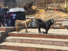 Also Goats practice yoga. // También las cabras practican yoga.
