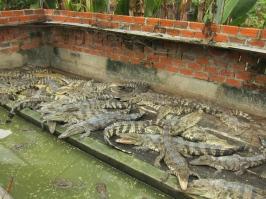 """Crocs, they truly had so MANY crocs. // Una cantidad increible de cocodrilos en la """"granja"""" que visitamos."""