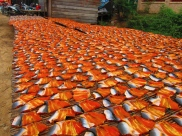 Drying fish. // Secando el pescadete.