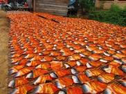 Drying fish. // Secando el pescadete.